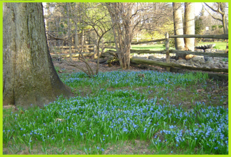 Spring bluebells,coming soon to a back yard near you!